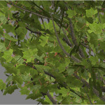 acer_rubrum_red_maple_scr2