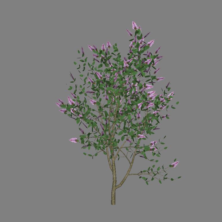 ja_syringa_vulgaris_lilac_scr1