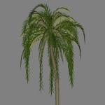 yvh-palm-jubaea-scr1