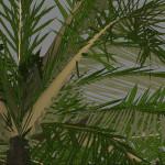 yvh-palm-jubaea-scr2